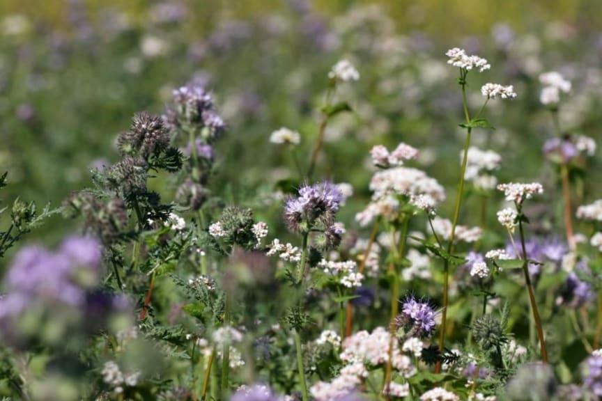 Ettårig blomremsa_biologisk mångfald
