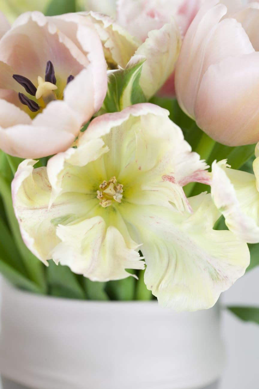 Rosa tulpaner i närbild