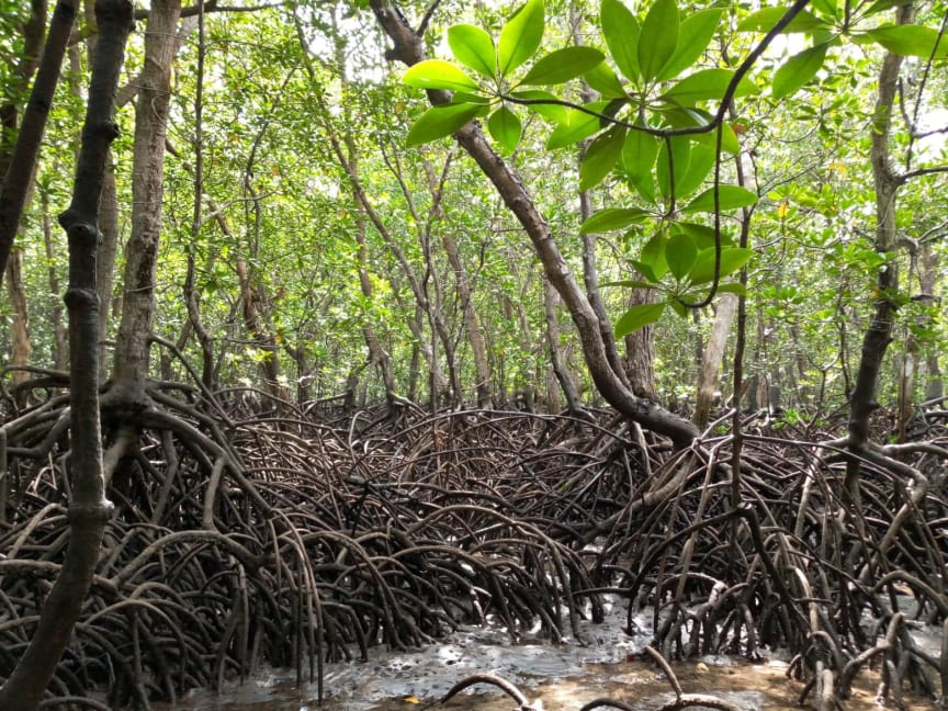 Vanga Blue Forest Mangrove, Kenya