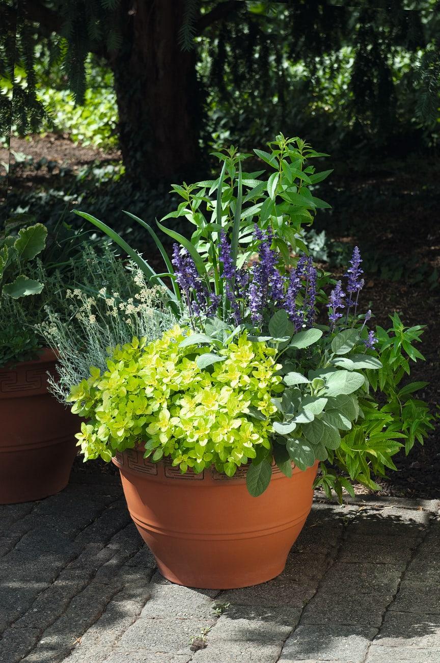 Kryddväxter samplanterade
