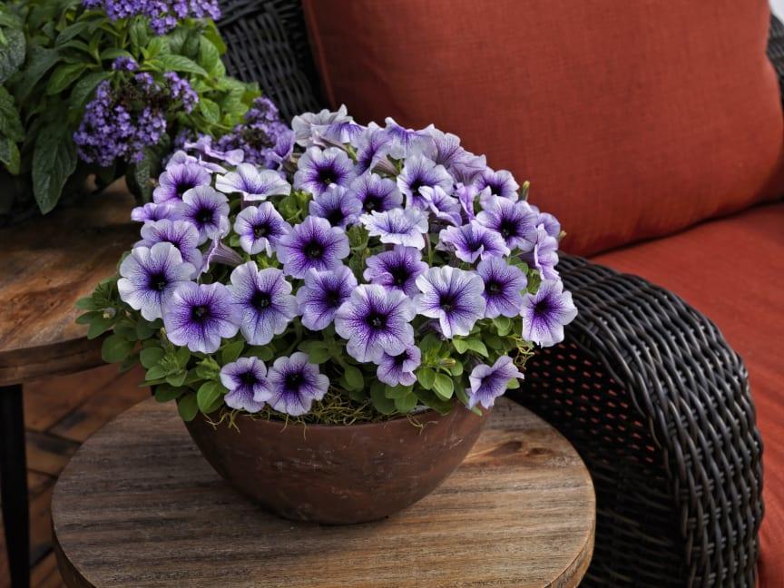 Petunia Sanguna Patio Blue Vein