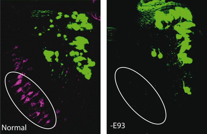 Ett fåtal gener styr nervcellernas funktion