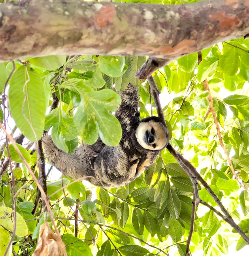 WTG-Suriname-Faultier-Baum