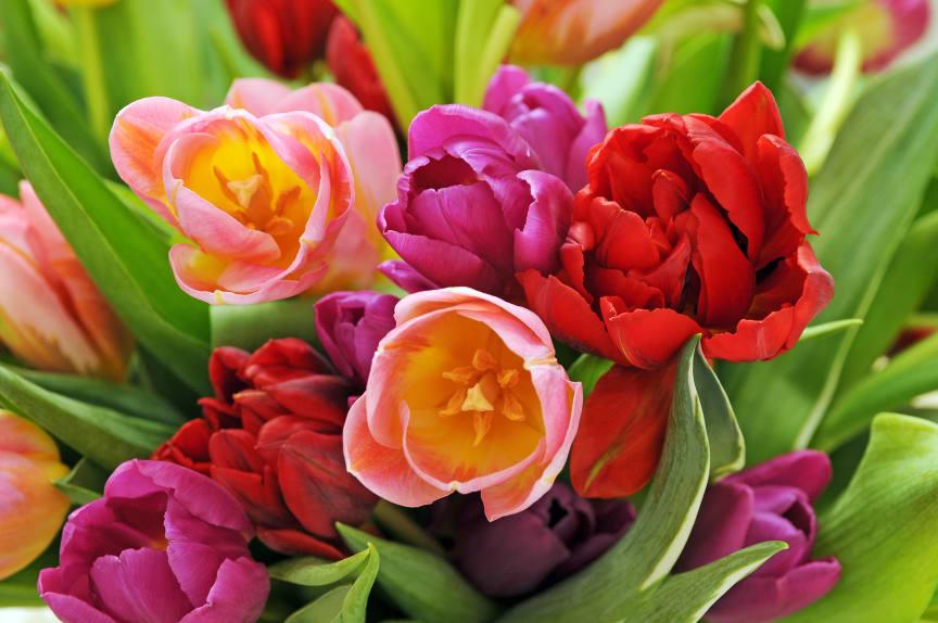Tulpanbukett i blandade färger.
