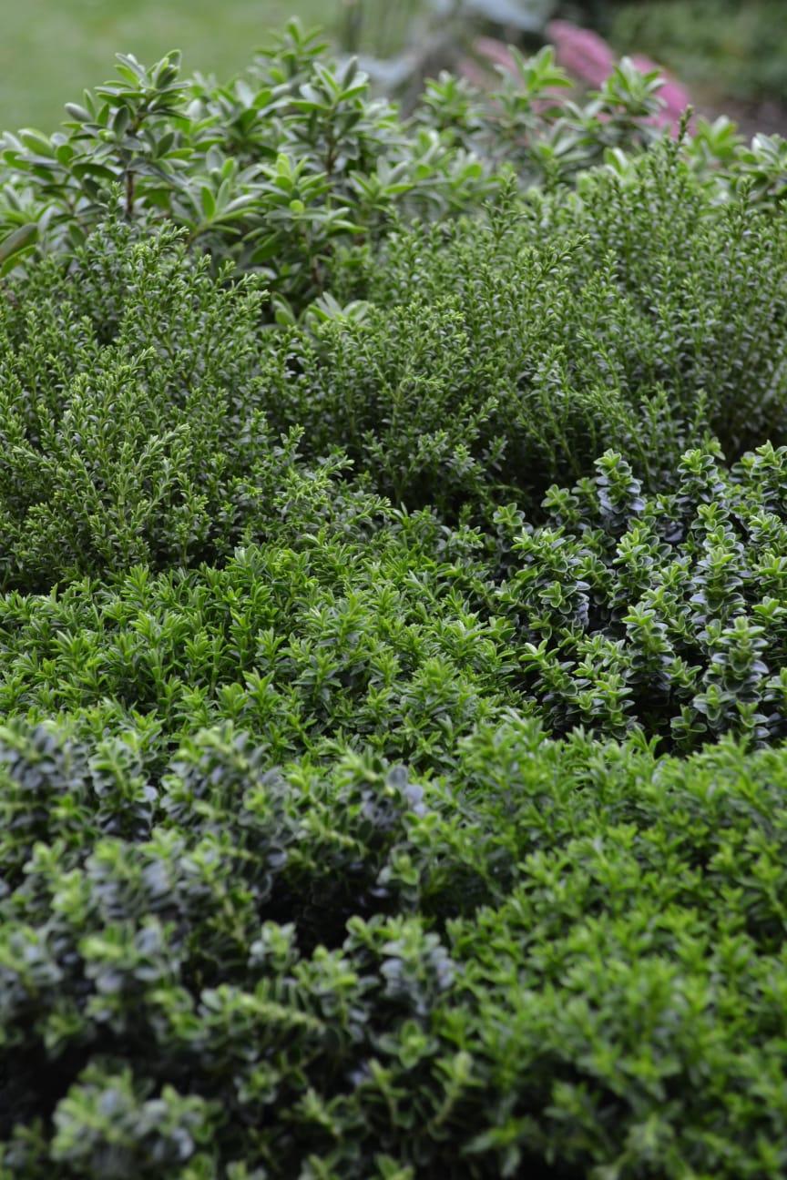Olika sorter av hebe tillsammans ger en härlig grön struktur