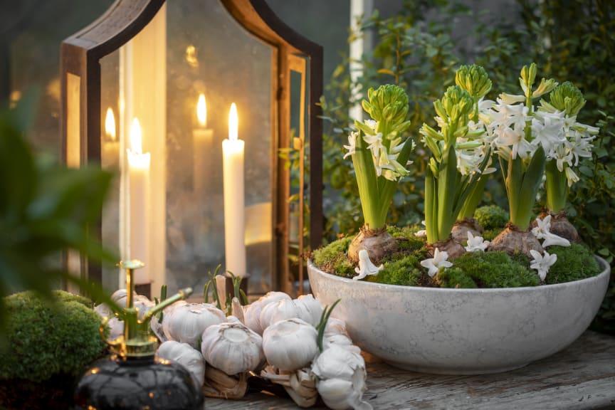 Svenskodlade hyacinter med Karl Fredrik på Eklaholm