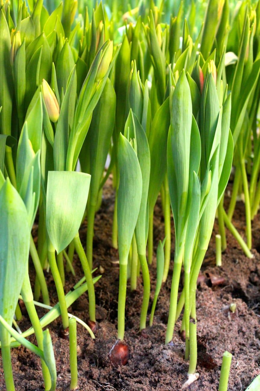 Svensk tulpanodling växer
