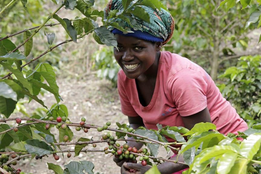 Kaffeepflückerin auf der Plantage