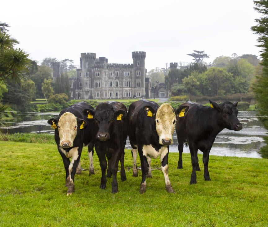 Beef cattle at Johnstown Castle in Ireland