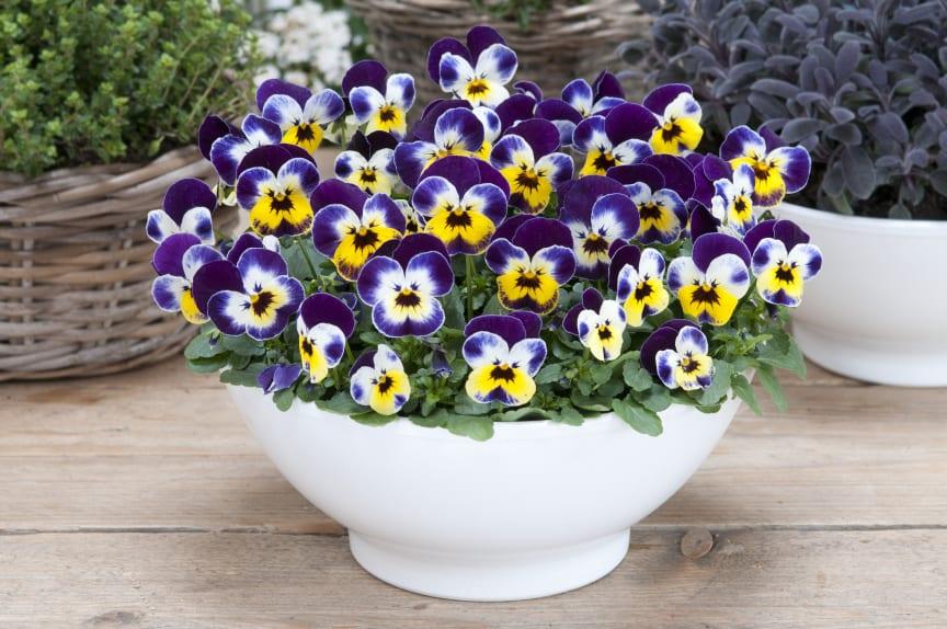 Viola-cornuta-Jolly-Face