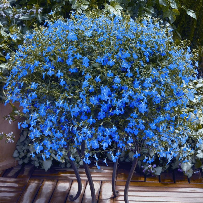 Lobelia erinus Techno Blue
