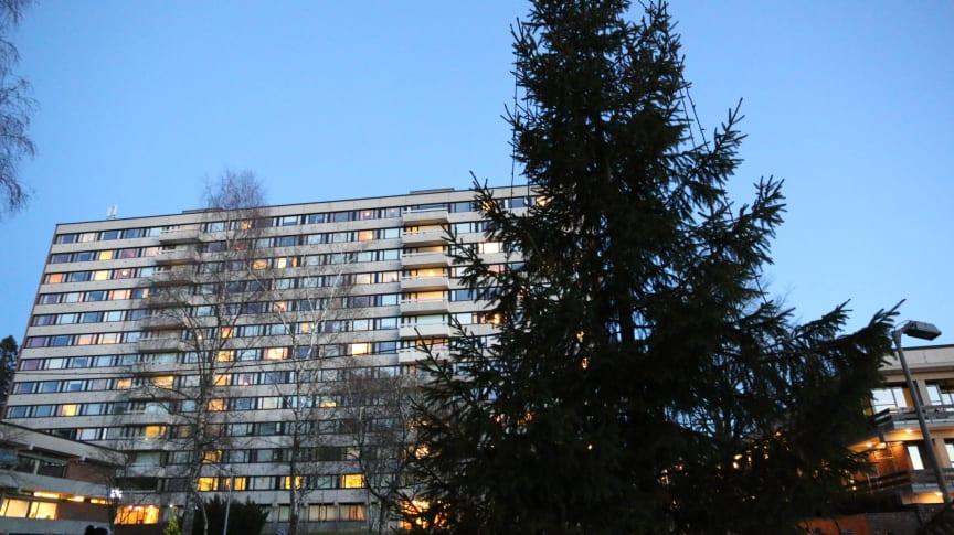 Julegrantenning på Kringsjå Studentby, Oslo (bilde 2)