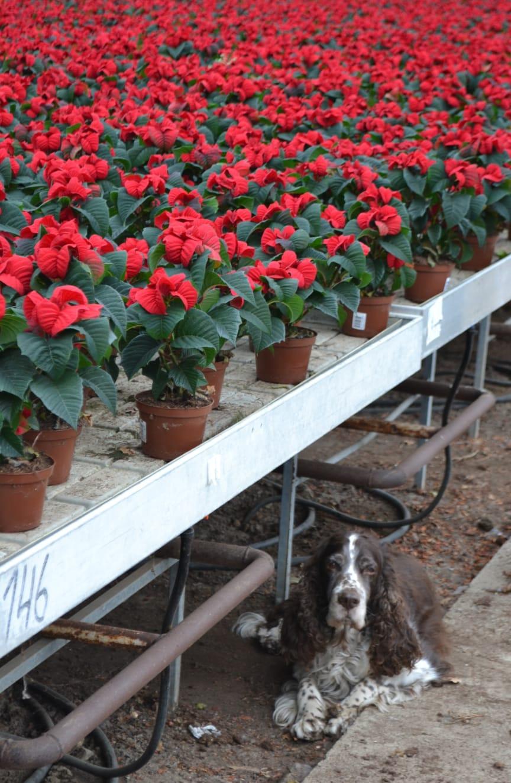 Julstjärnor och hund
