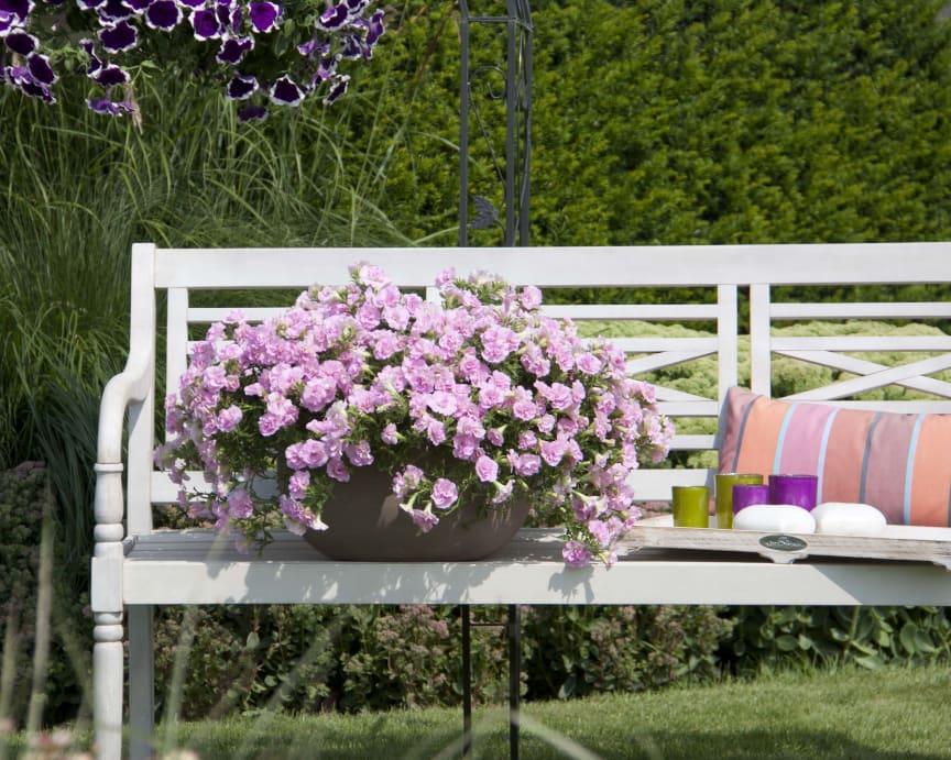 Petunia SweetSunshine Light Pink