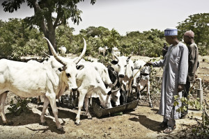 Cows at borehole i Nigeria