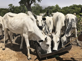 Kossor från Arlas försöksprojekte i Nigeria