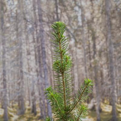 Statskog med ny planterekord