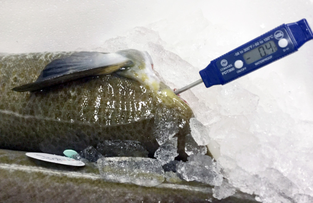 Skrei, perfectly chilled for transport