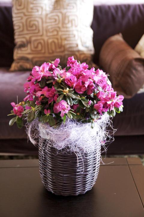 Azalea i lila korgkruka