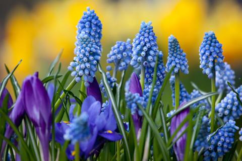 Pärlhyacint, krokus och iris