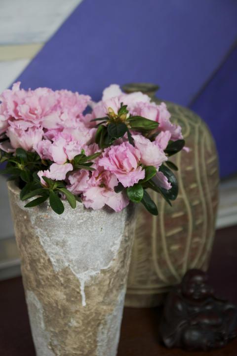 Fönsterazalea Rhododendron simsii Terranova keramikkruka