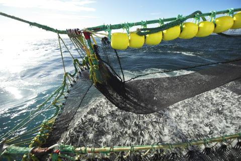 Makrellfiske - mackerel fishing in Norway