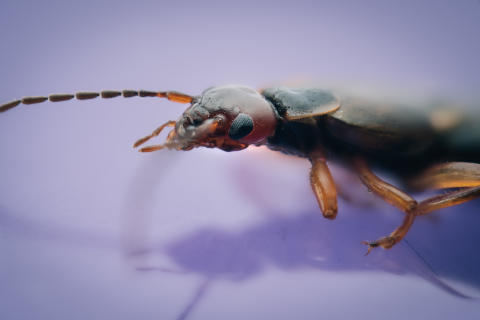European earwig captured with α7R II and 90mm Sony Macro Lens