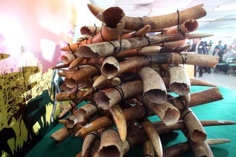 Hong Kong begins burning its Ivory stockpile