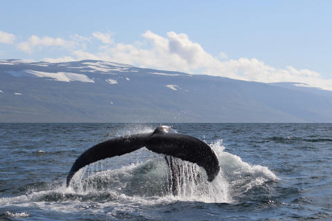 Fred. Olsen to partner with marine wildlife charity ORCA on inaugural whale-watching Iceland cruise in Summer 2019