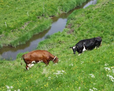 Färre ekologiska mjölkkor 2019