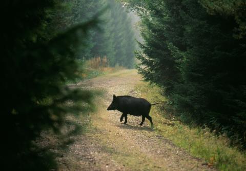 Sverige övar sin förmåga att hantera afrikansk svinpest