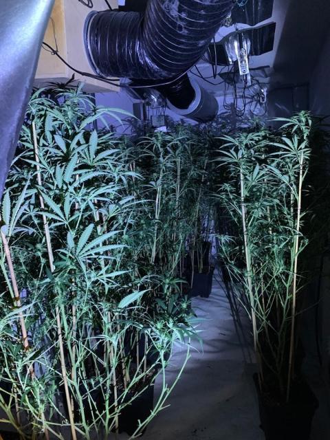 Cannabis farm 004
