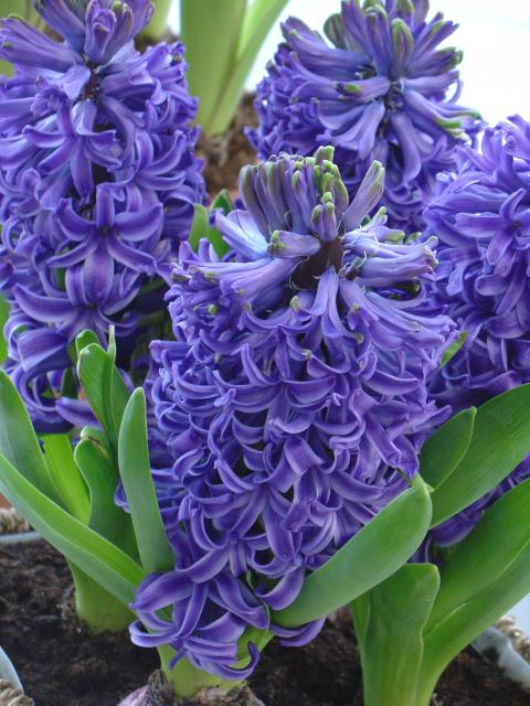 Hyacint 'Blue Pearl'