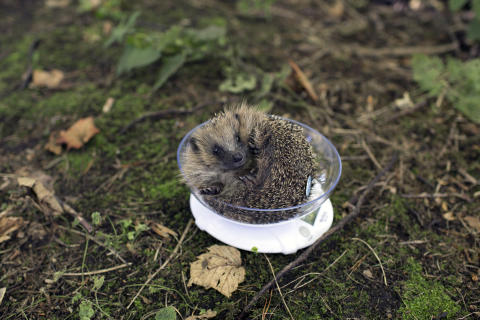 Juvenile Hedgehogs released back into wild at Center Parcs Woburn Forest