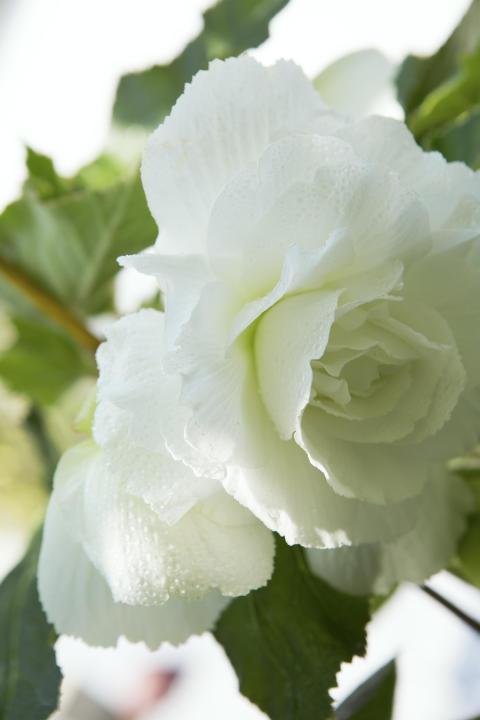 knölbegonian 'Illumination White', Begonia x tuberhybrida (Illumination-Serien) 'Illumination White'.