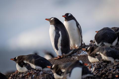 Will Burrand-Lucas, A7R IV, penguin