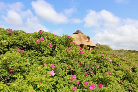 Blütenteppich bis zum Strand: Ende Mai beginnt auf Sylt die Blütezeit der Rosa Rugosa.