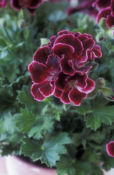 Månadens blomma - februari. Engelsk Pelargon och Julros