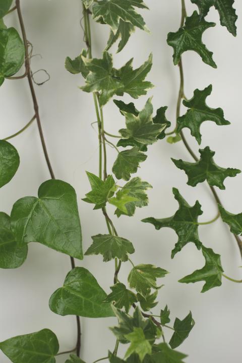 Murgröna 1