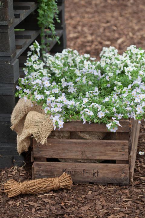 Sutera diffusus 'White' och 'Lavender'