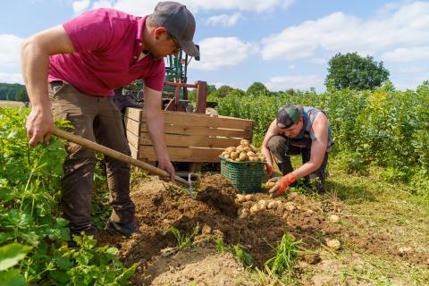 Kartoffelfans können sich freuen, denn sie sind wieder da: Bio-Frühkartoffeln vom Hofgut Richerode. In dieser Woche haben Mitarbeitende und Beschäftigte die ersten Kartoffeln geerntet.