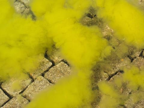 Bliv algernes værste fjende med denne algeguide