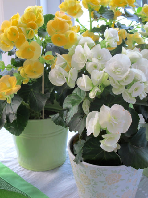 Månadens blomma - februari 2011