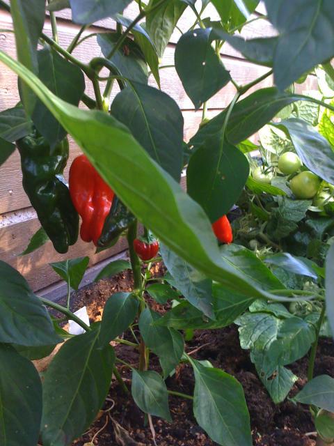 Chili och tomat 2