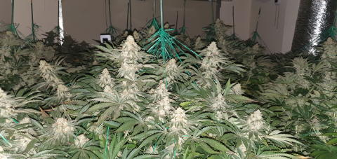 Officers make two arrests and uncover cannabis factory in Sutton