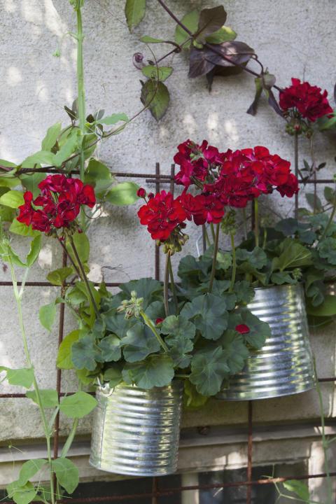 Pelargon 'Velvet Red' på väggen.