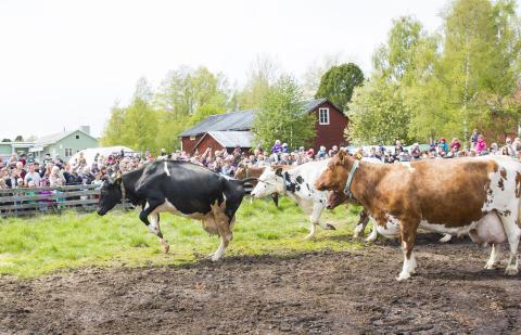 Snart springer kossor ut på bete i Norrbotten