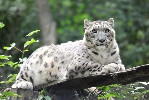 Zuwachs im Rostocker Zoo: Eine Kölner Samtpfote für Schneeleopardin Emba