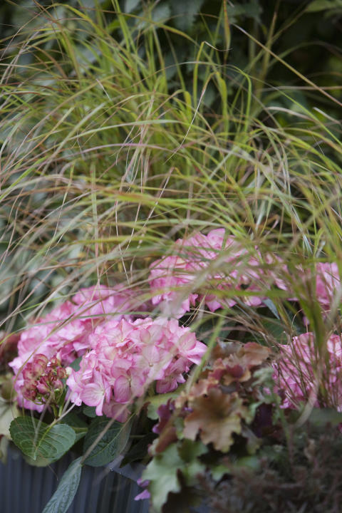 Balkonglåda med alunrot, hortensia och prydnadsgräs.
