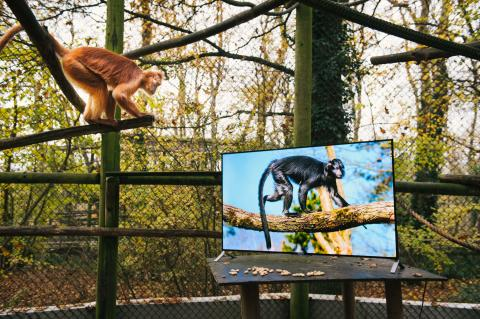 Langur and Sony 4K TV